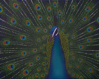 Colorful blue peacock close-up